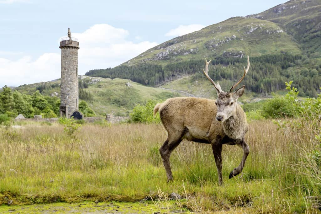 Red Deer by the Glenfinnan Monument